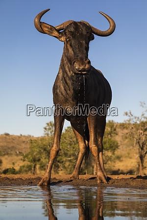 common wildebeest connochaetes taurinus at water
