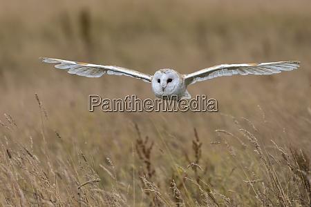 barn owl tyto alba captive cumbria