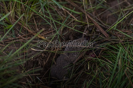 mouse in green grass in the