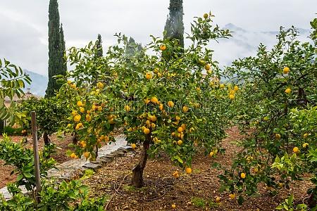 frehs oranges on a orange tree